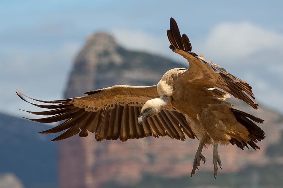© Griffon vulture, Pierre Dalous